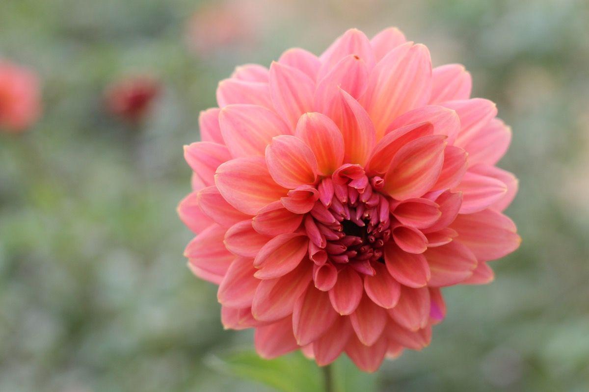 Connecticut Coral | Dahlia, Plants and Flowers
