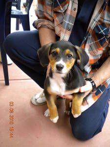Kelpie Beagle Beagle Dogs