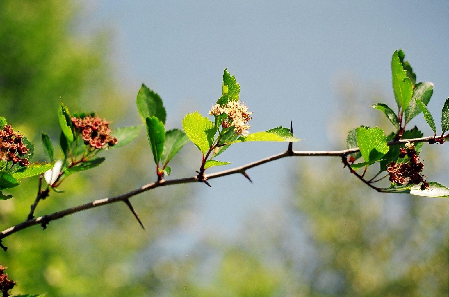 black hawthorn crataegus douglasii | ... & Gozo - Plant: Crataegus monogyna (Hawthorn) - (800x1033 - 191kB