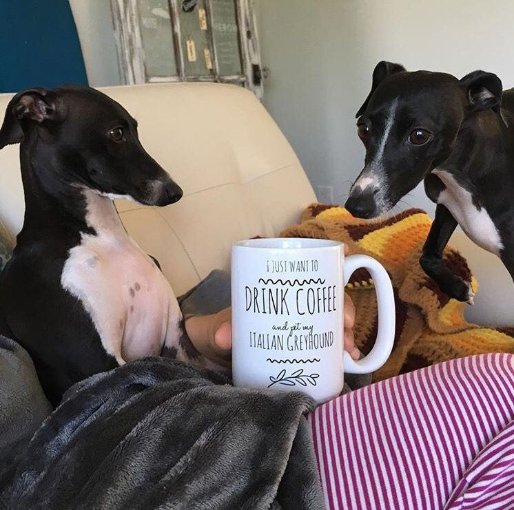 These two Italian Greyhounds are loving their mom's new ...