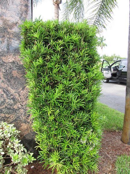 Podocarpus macrophyllus Evergreen Height 8' Width 4 ...