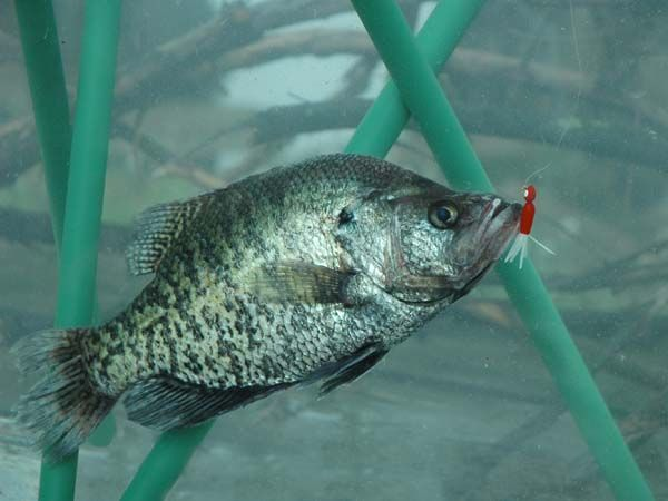 It 39 S Time For The Crappie Spawn Learn How You Can Take