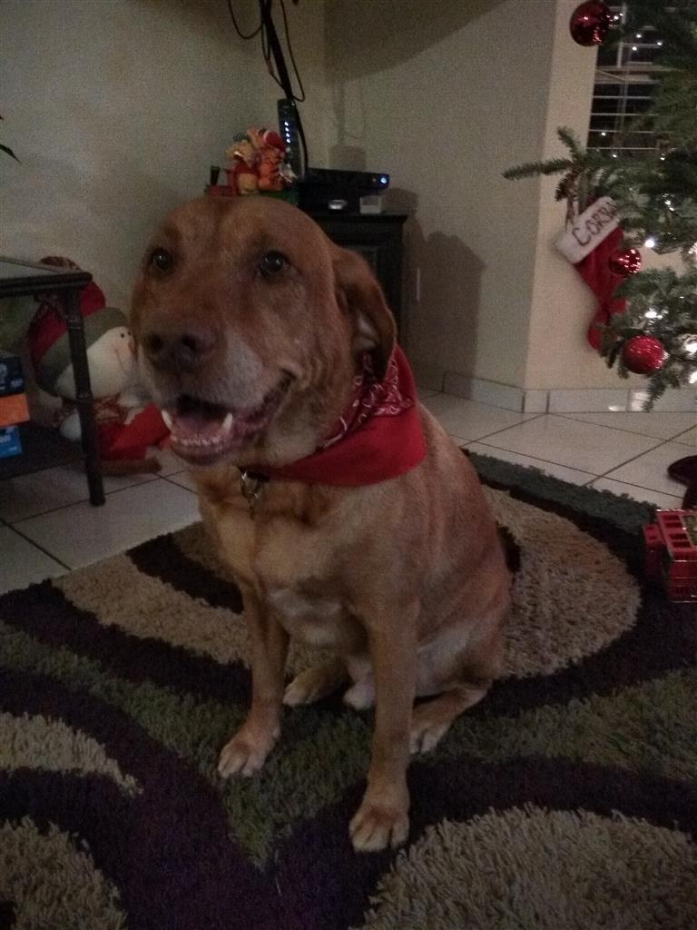 Helping Lost Pets Dog Labrador Retriever Back Home Losing
