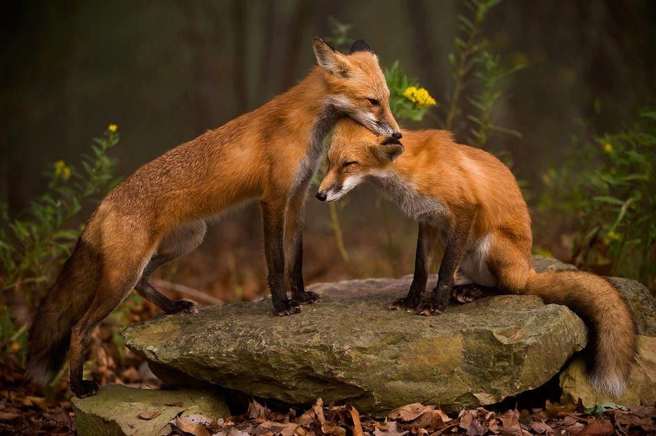 Red Foxes in love