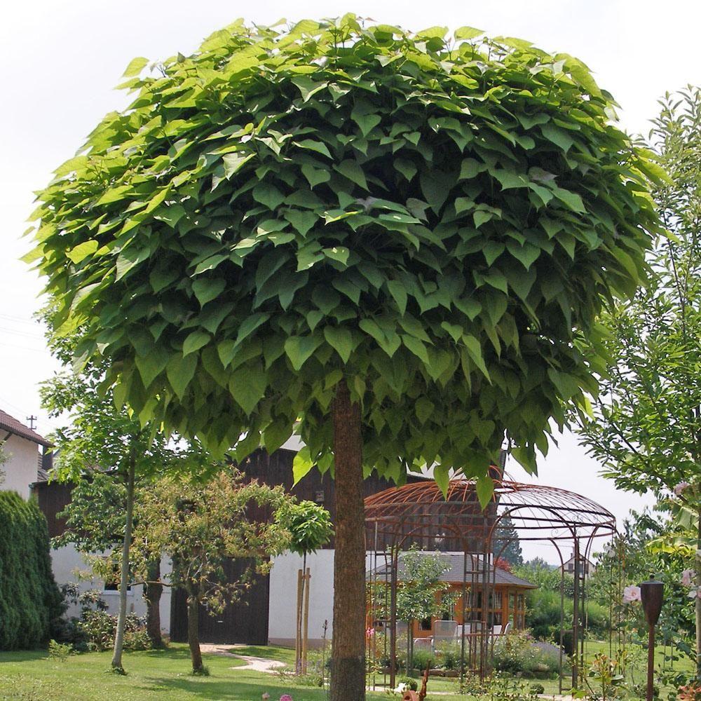Die Kugelformen Vom Trompetenbaum Catalpa Bignonioides Nana Werden Oft Als Kleinkronig Verkauft Im Alter Konnen Die Kr Trompetenbaum Bepflanzung Kugelbaum