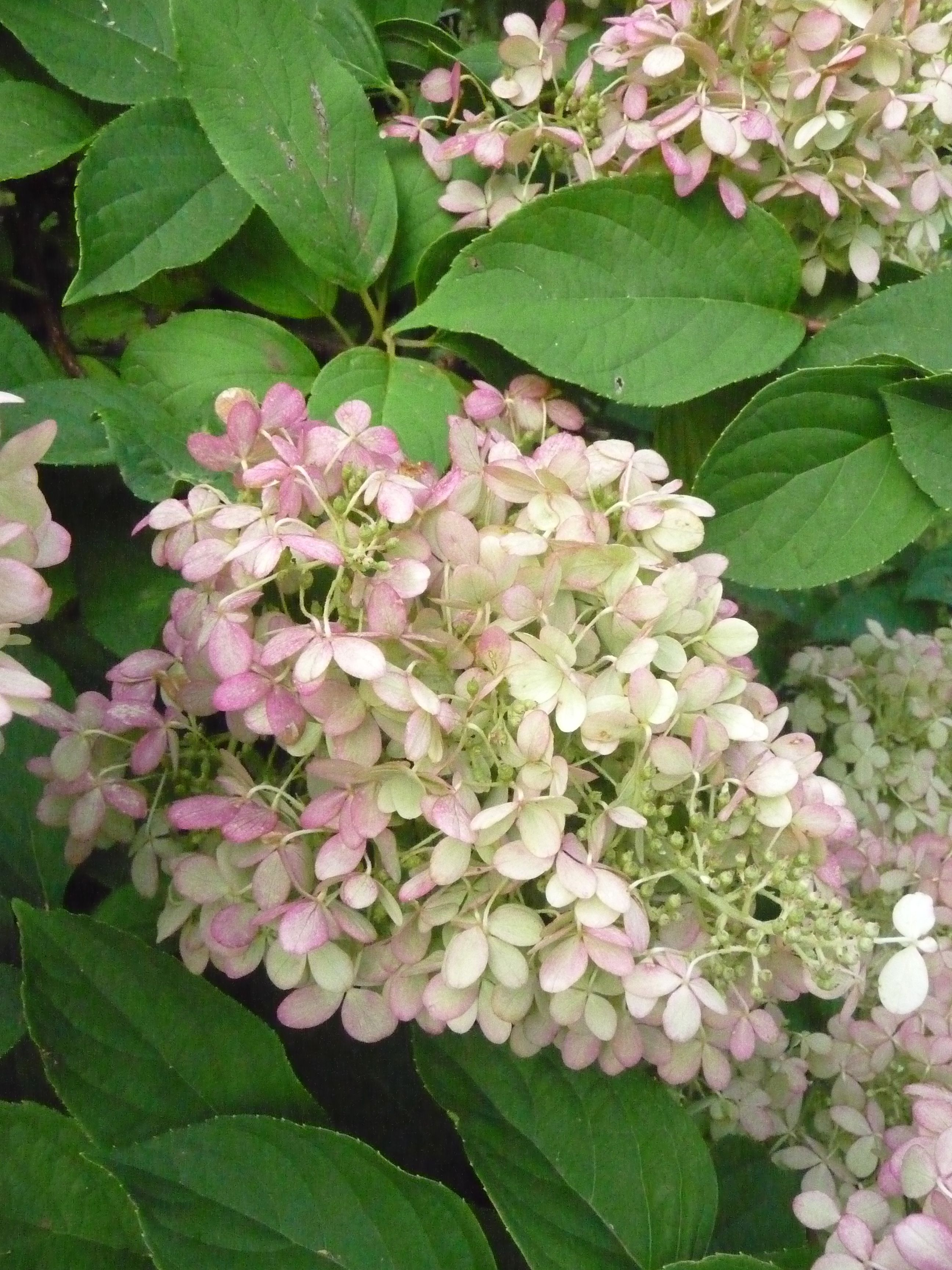Limelight hydrangea and it 39 s rosy fall color plants i for Limelight hydrangea