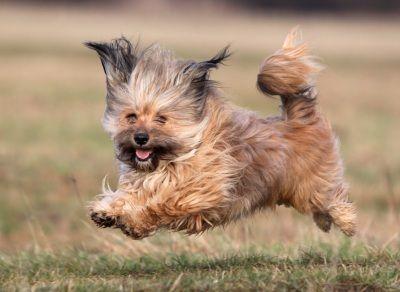 Pin Von Designs 2 Delight Auf Mix Havaneser Bichon Frise Chihuahua