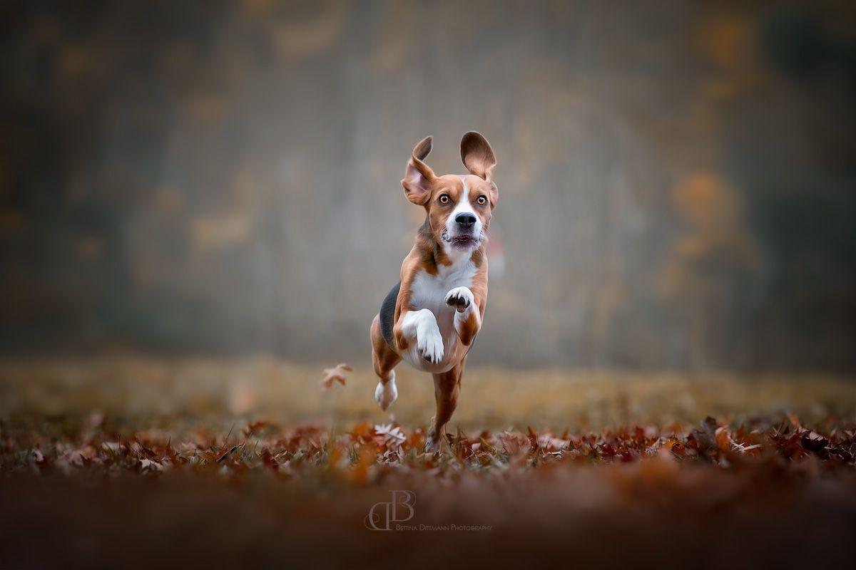 Die Beagles Sind Los Hundefotografie Tierfotografie Susse Tiere