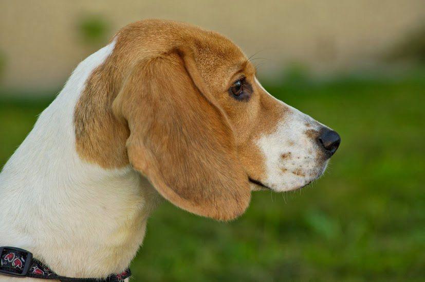 Ljepotica Jasmine Noina Arka Bazzar Hr Beagle Kennel Beagle