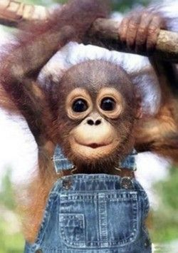 Baby monkey climbing hanging from a branch all dressed up with suspenders.  Monkey see, monkey do!