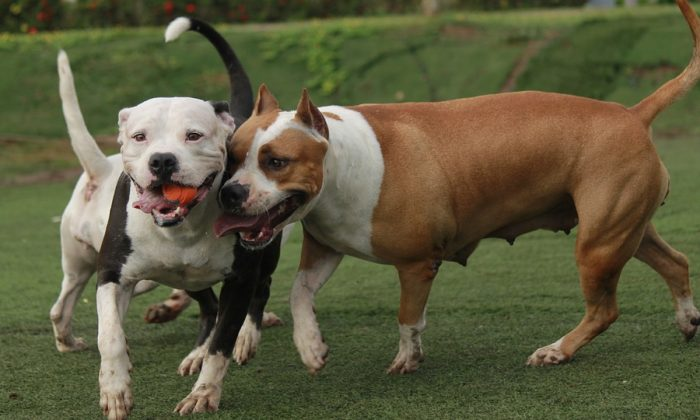4 Pit Bulls Running Wild Attack Woman And Dog During Walk Owner Faces Multiple Fines Pitbulls Pitbull Dog Dog Control