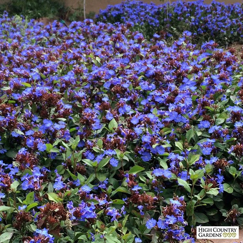 Flowers To Grow In Small Pots: Hardy Plumbago (Ceratostigma)