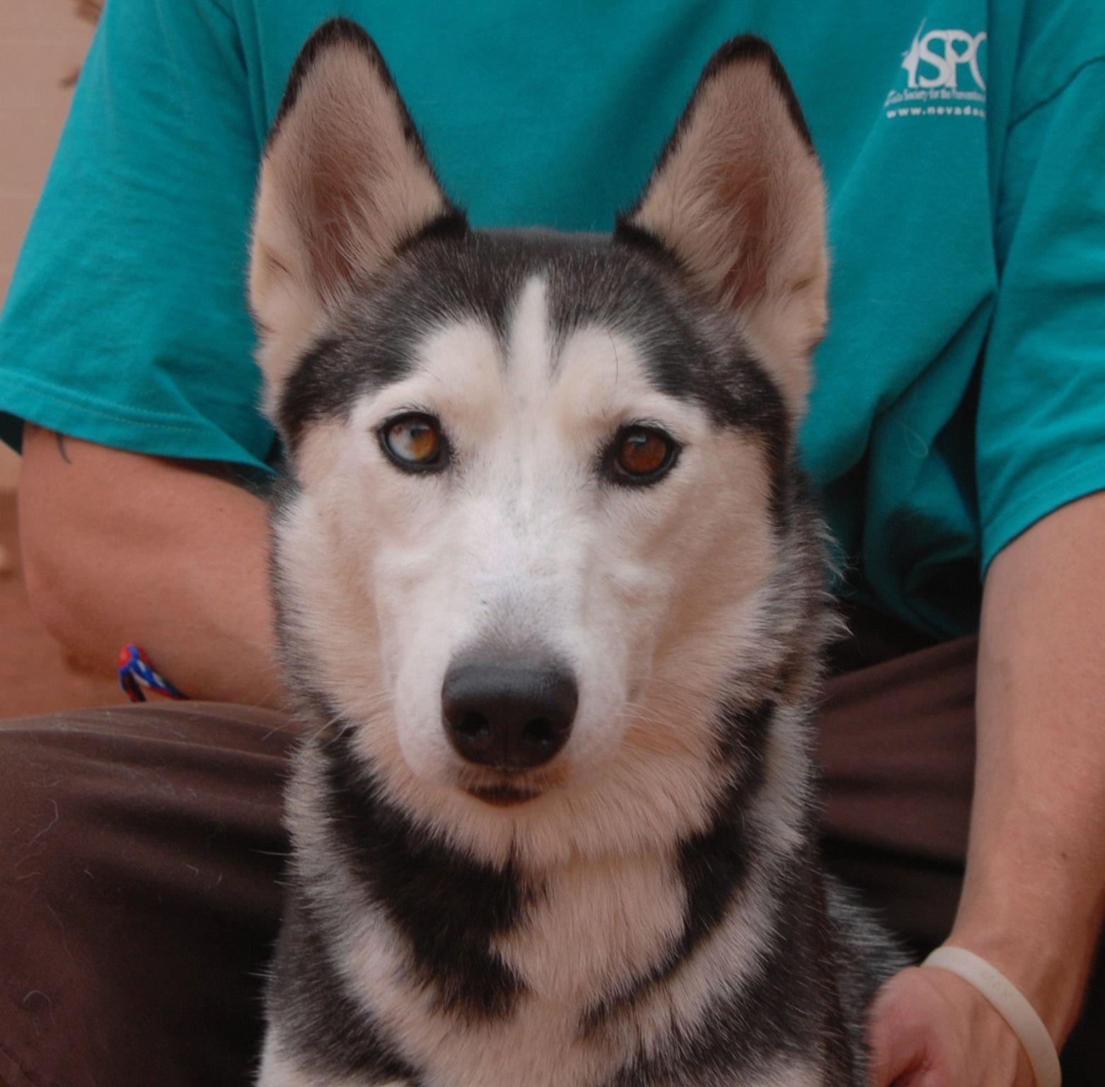 Kai Is A Petite 38 Pounds And Gentle Siberian Husky Debuting For