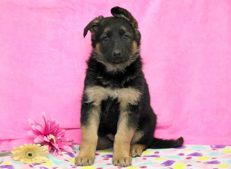 Black German Shepherds German Shepherd Dog Puppy For Sale In Mount
