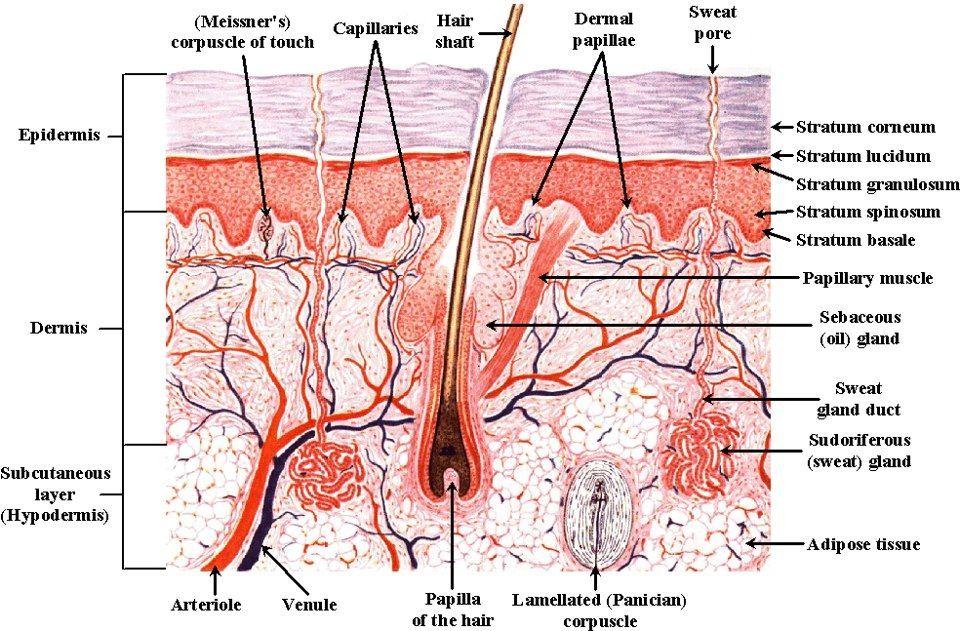 skin diagram | Bion skincare | Pinterest | Diagram
