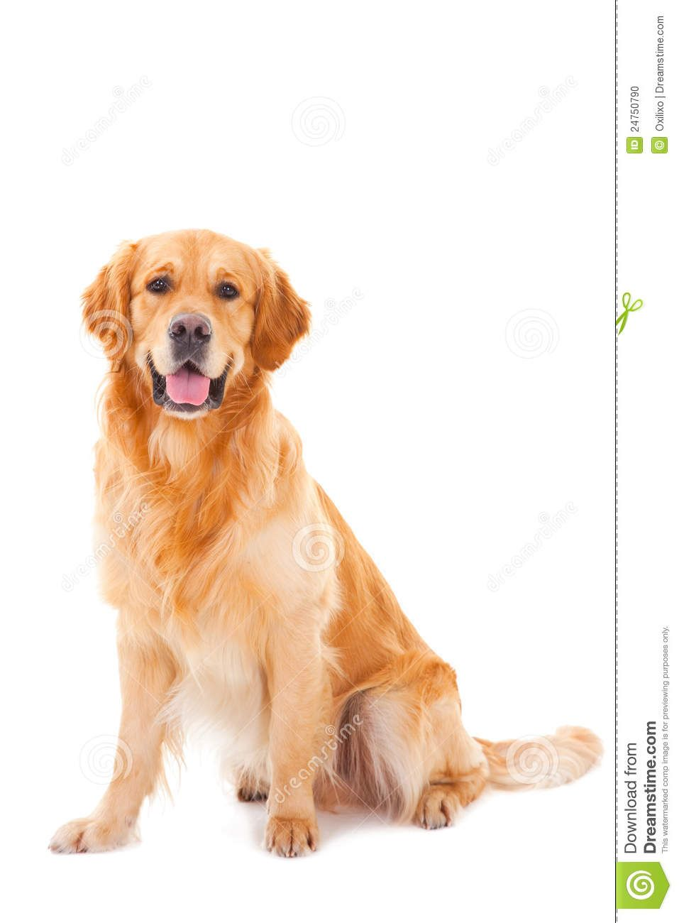 Golden Retriever Dog Sitting On White Download From Over 54