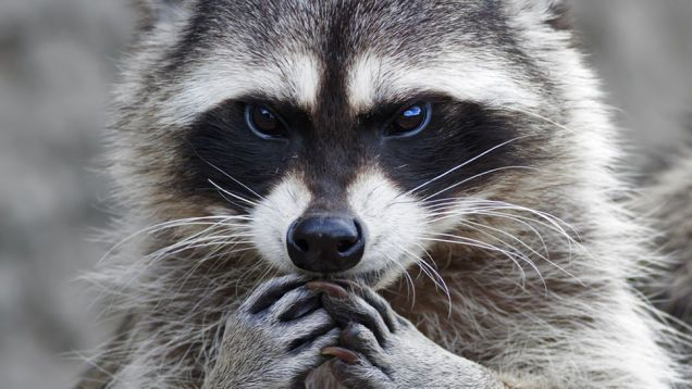 Trash Panda Face Features Hands And Forelimbs Cute Animals Cute Raccoon Animals Wild