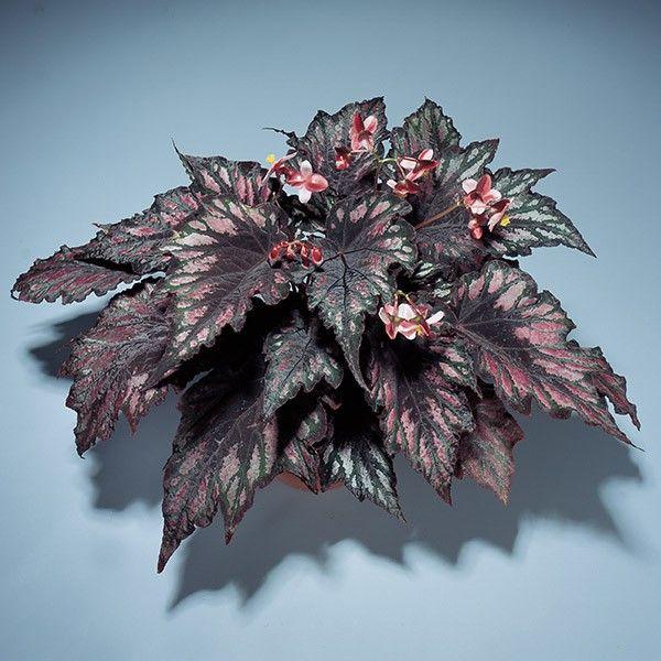 Begonia Helen Teupel Begonia Rex Hybrid Begonia Growing Peonies Dragon Garden