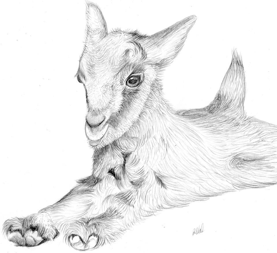 Pencil Drawing Baby Goat