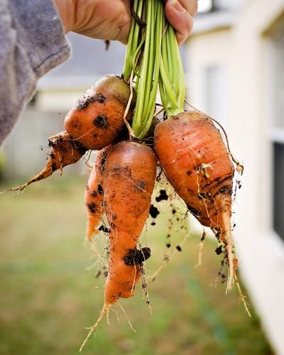 Carrots pulled from the garden