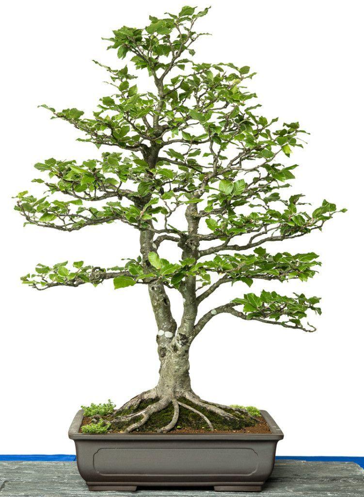 Japanische Mini Bäume