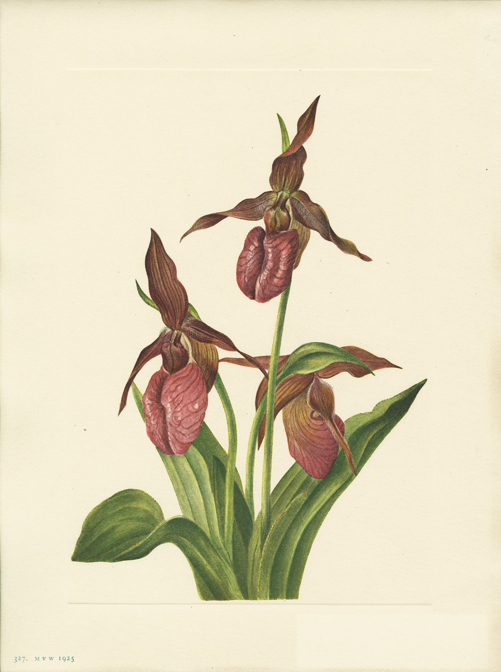 9f18a1a97 Cyfripedium acaule Aiton Pink ladyslipper, often called moccasin-flower, is  always a delight to the flower lover, for it seems like some exotic visitor.
