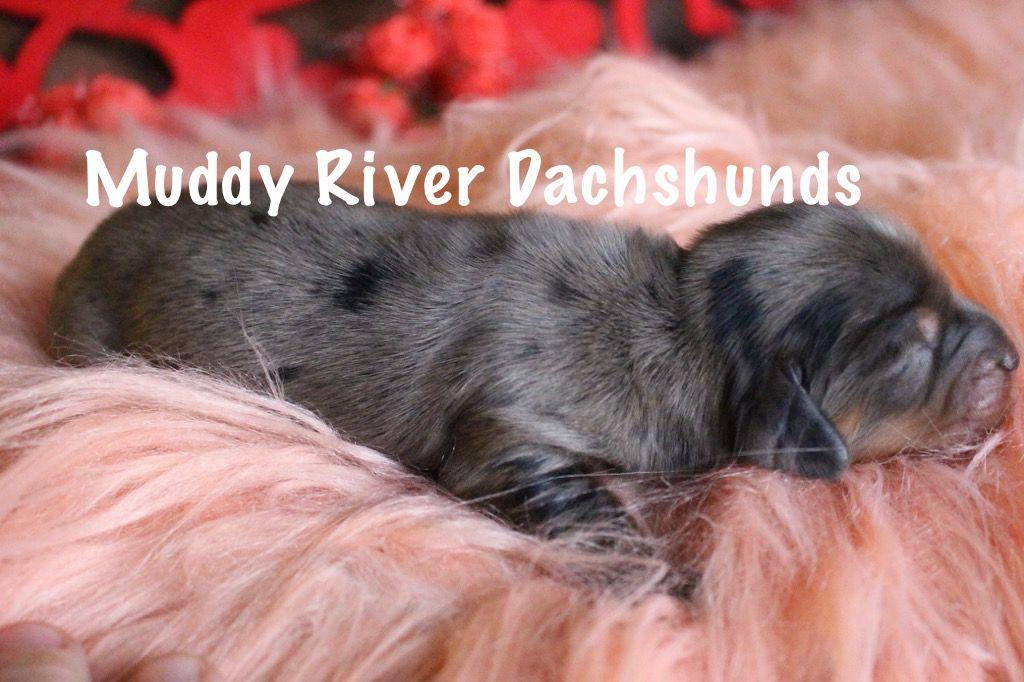 Black And Tan Silver Dapple Mini Dachshund Dachshund Puppy