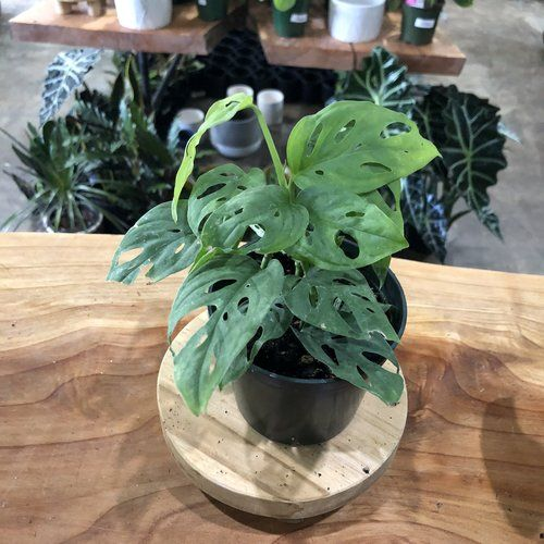 Limited: Monstera Swiss Cheese Plant