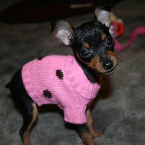 Pretty In Pink Pin Miniature Pinscher Puppy Small Family Dogs