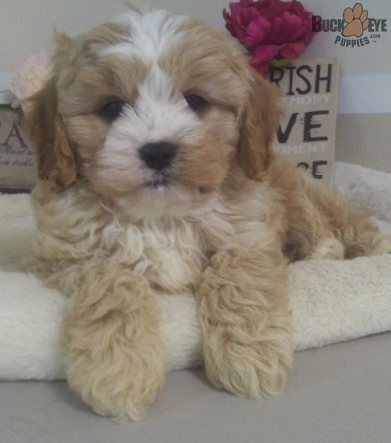 Toby Cavapoo Puppy for Sale in Millersburg, OH Buckeye