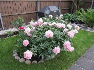'Sarah Bernhardt' -kiinanpionin kukat ovat muhkeita kesä–heinäkuun vaihteessa.