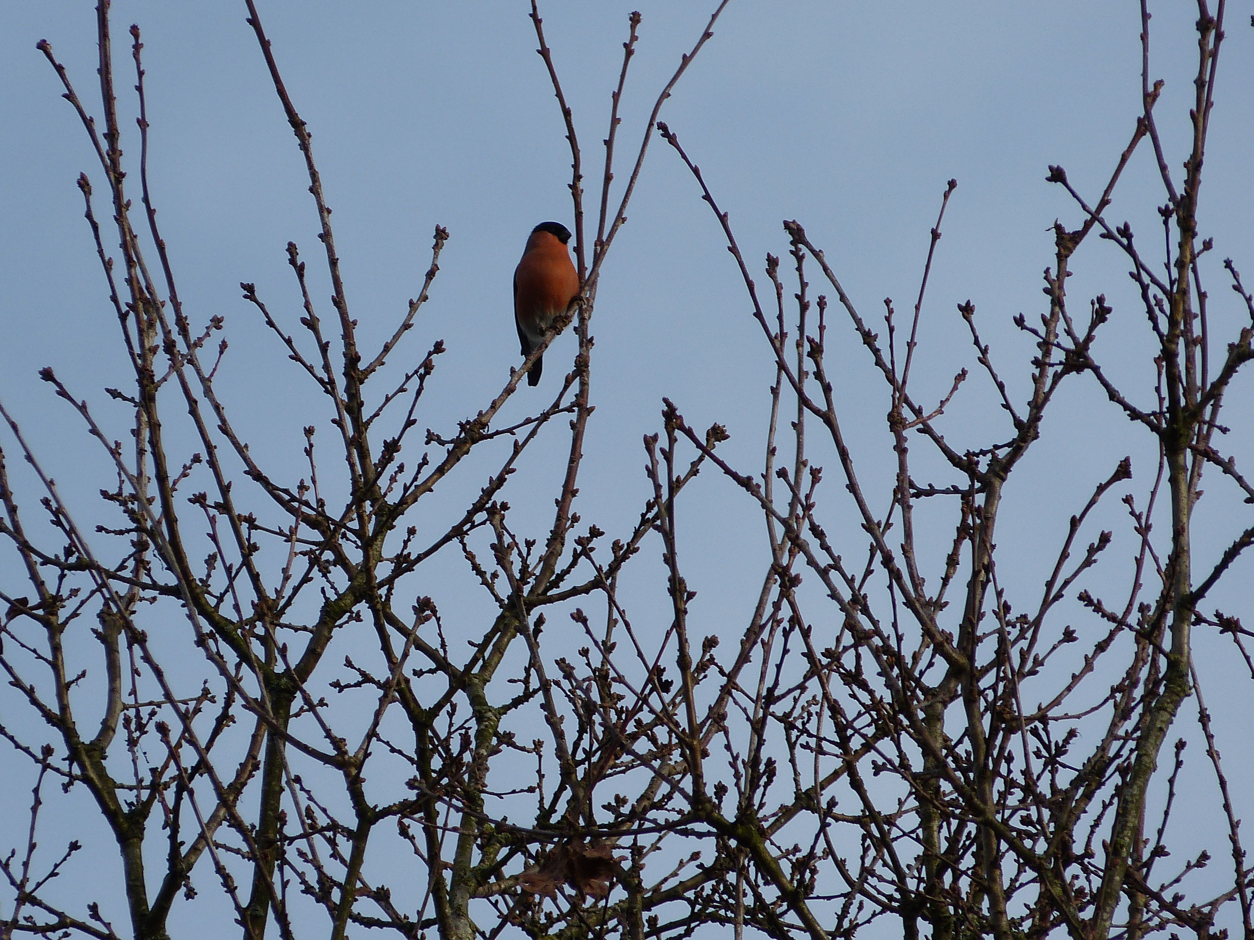Bullfinch one of five hanging around in the sunshine at