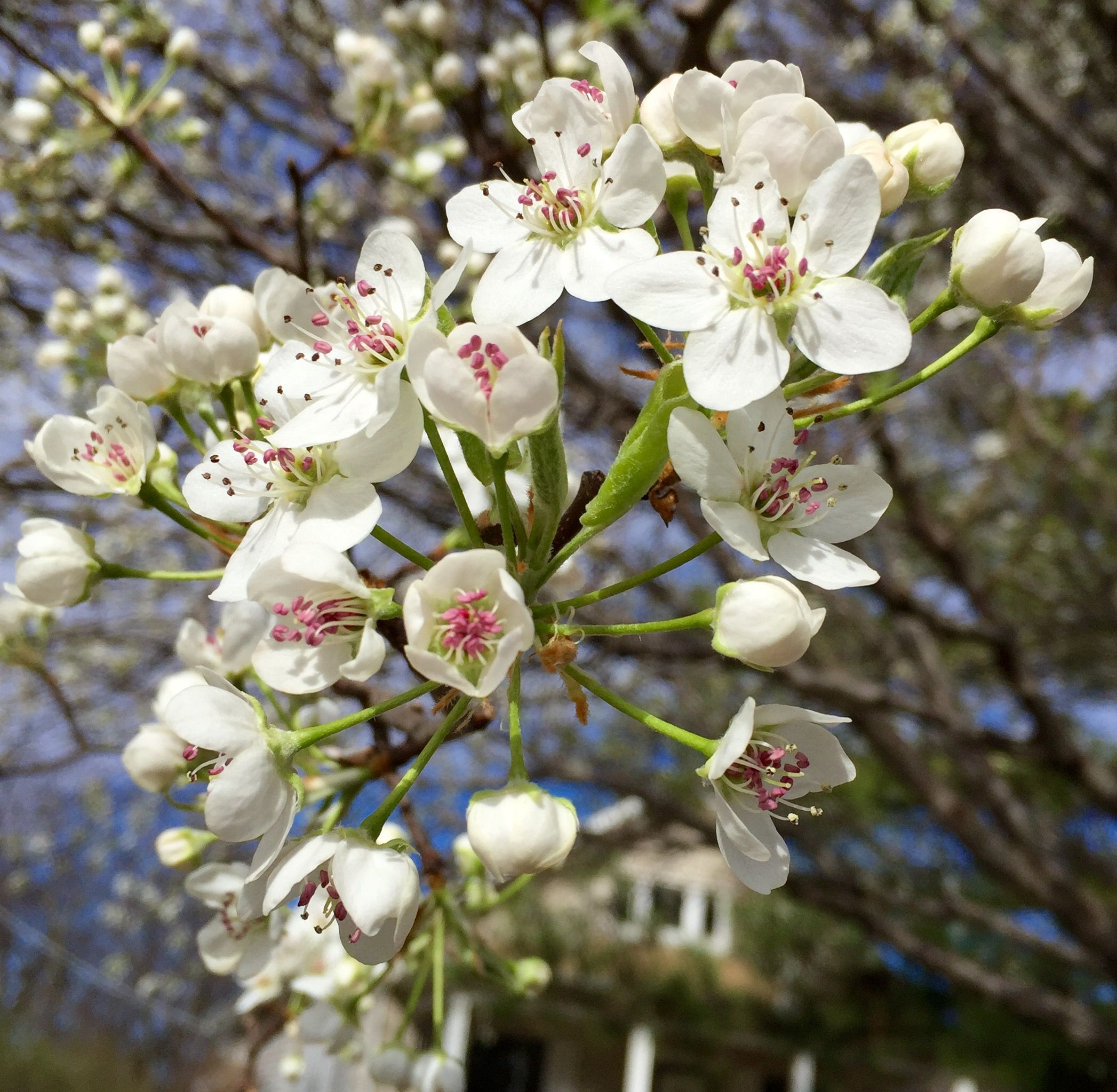 Springtime In Oklahoma Bradford Pear Tree Spring Time Bradford Pear