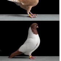 Doves By Tobias Kresse Pigeon Breeds Doves Dove Bird