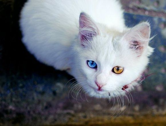 White Cat Cat Kitten Whitecat Heterochromia Cat With Blue Eyes Cute Animals Pretty Cats