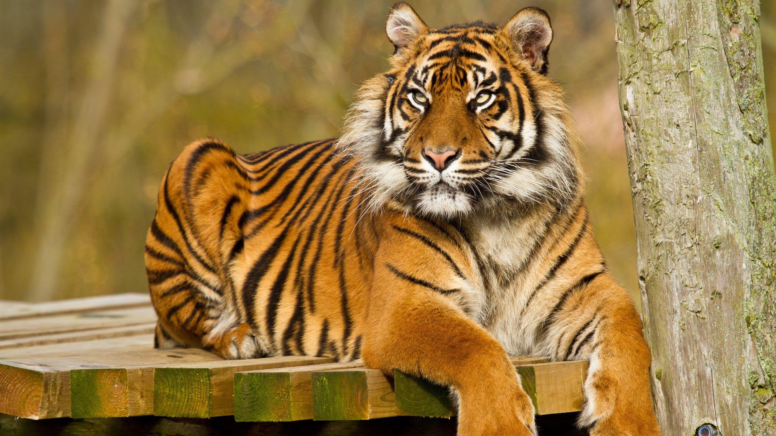 high resolution tiger wallpaper | ololoshenka | pinterest | tiger