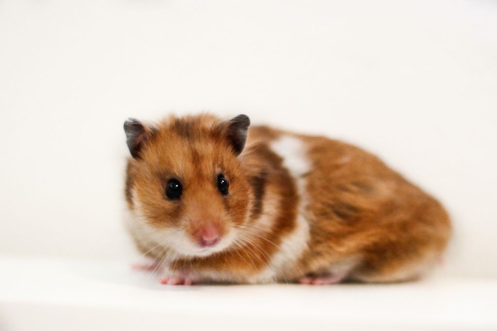 The Syrian hamster (Mesocricetus auratus) is commonly ...