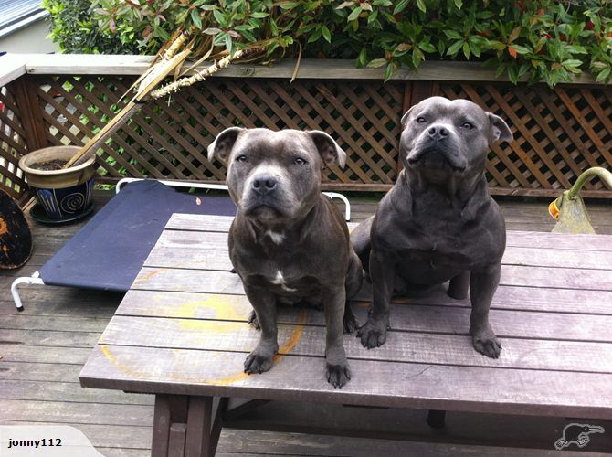 Terriers Dogs Trade Me Cutest Dog Ever English Staffordshire Bull Terrier White Husky Dog
