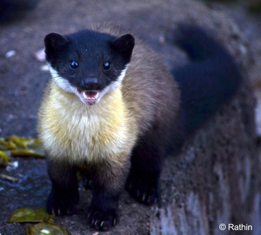 Yellow-throated marten. I just love these cute little creatures. I read a book on them recently,and found it very interesting.