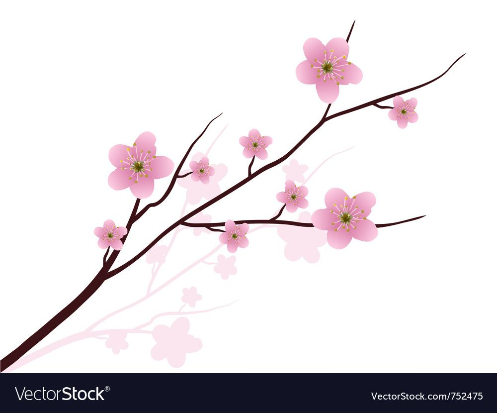 Cherry Blossoms Vector Image On Cherry Blossoms Illustration Cherry Blossom Cherry Blossom Vector
