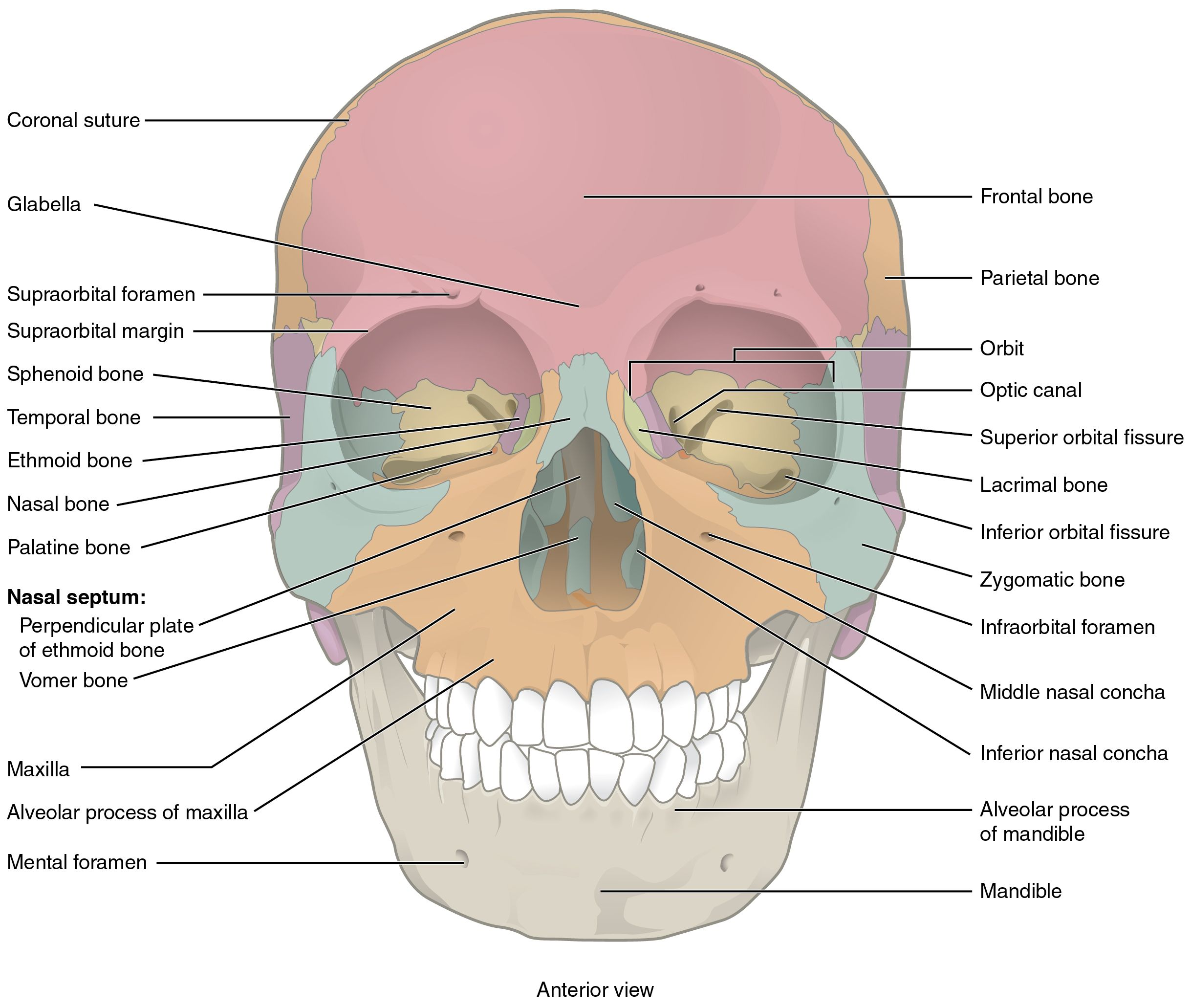 This Image Shows The Anterior View From The Front Of The Human