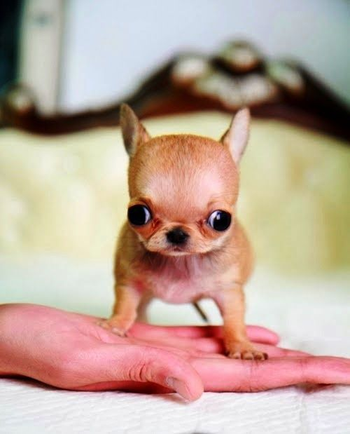 5 Most Adorable Teacup Puppies Cute Animals Puppies
