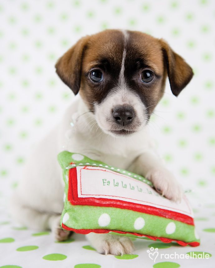 Bobbie (Jack Russell Terrier) - Quietly waiting for the ...