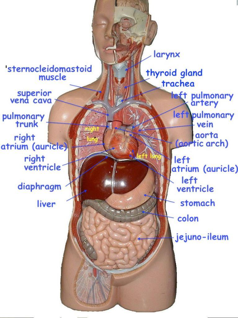 Image Result For Torso Model Labeled Anatomy Models Labeled