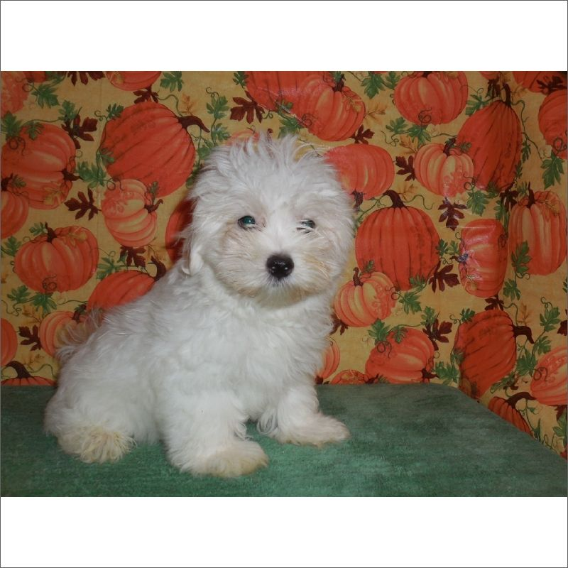 Maltese Poodle Toy Mix Puppy For Sale In Tucson Az Adn 45690