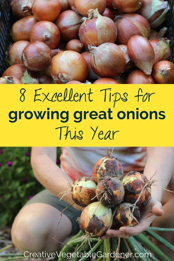 Wachsende und Pflanzzwiebeln können erfolgreich eine Herausforderung sein, wenn Sie nicht ein paar wichtige Tricks verstehen. Hier sind 8 Tipps für umfangreiche Zwiebeln wachsen.