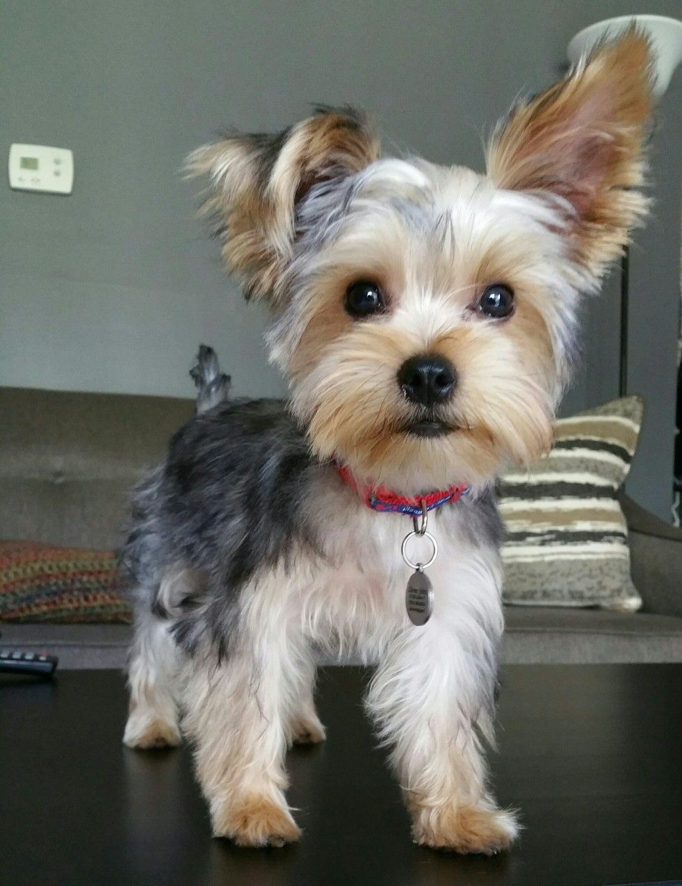 Oliver Johnathan Yorkie Pinterest Yorkie Dogs And Yorkshire
