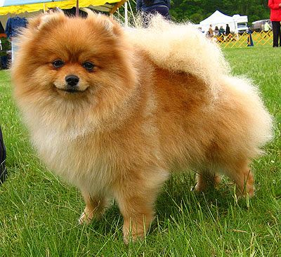 Breeds Pomeranian Dogs Toy Dog Breeds Pomeranian Dog Pedigree Dog