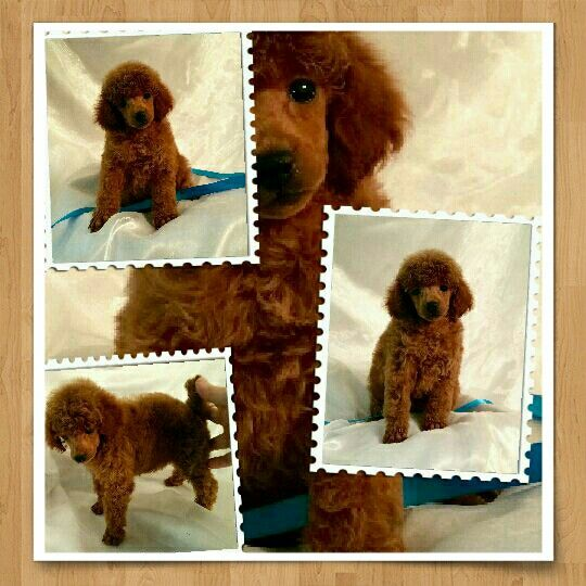 Cashel Red Poodle Owned By Chiaspet Dallas Texas Toy Poodles