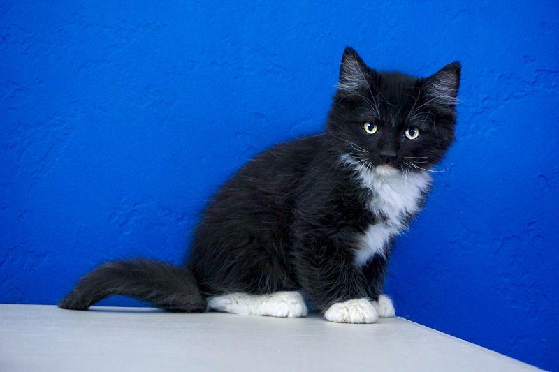 Ragdoll Kittens For Sale Near Me Buy Ragdoll Kitten Ragdoll